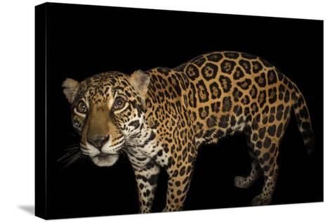 A Federally Endangered Ten-Year-Old Female Jaguar, Panthera Onca, at the Dallas World Aquarium-Joel Sartore-Stretched Canvas Print