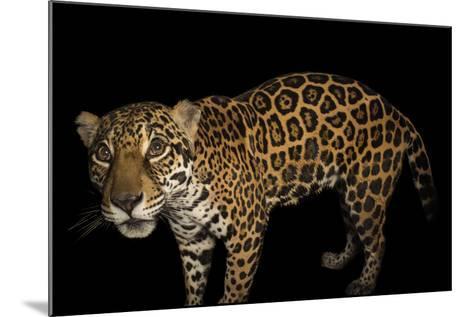 A Federally Endangered Ten-Year-Old Female Jaguar, Panthera Onca, at the Dallas World Aquarium-Joel Sartore-Mounted Photographic Print