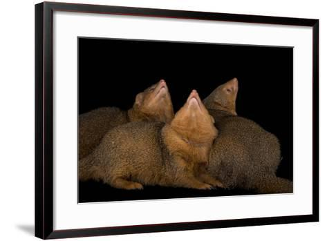 Common Dwarf Mongooses, Helogale Parvula, at the Omaha Henry Doorly Zoo-Joel Sartore-Framed Art Print