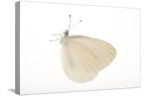 A Mustard White Butterfly, Pieris Oleracea-Joel Sartore-Stretched Canvas Print