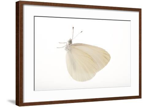 A Mustard White Butterfly, Pieris Oleracea-Joel Sartore-Framed Art Print