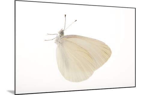 A Mustard White Butterfly, Pieris Oleracea-Joel Sartore-Mounted Photographic Print