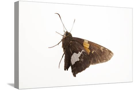 A Silver-Spotted Skipper, Epargyreus Clarus, from a Prairie Woodland Near Cross Lake, Minnesota-Joel Sartore-Stretched Canvas Print
