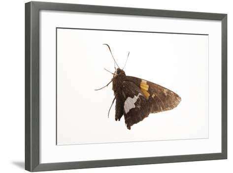 A Silver-Spotted Skipper, Epargyreus Clarus, from a Prairie Woodland Near Cross Lake, Minnesota-Joel Sartore-Framed Art Print