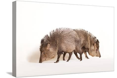 Collared Peccary, Pecari Tajacu, at the Omaha Zoo's Wildlife Safari Park-Joel Sartore-Stretched Canvas Print