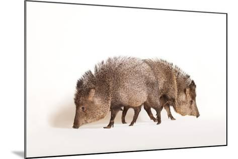 Collared Peccary, Pecari Tajacu, at the Omaha Zoo's Wildlife Safari Park-Joel Sartore-Mounted Photographic Print