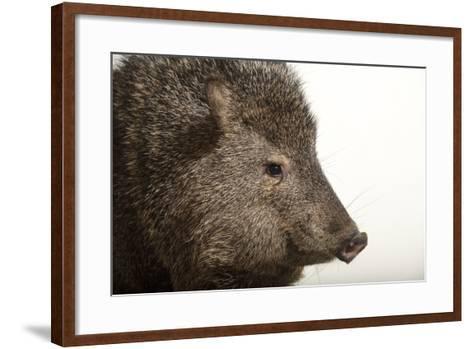 Collared Peccary, Pecari Tajacu, at the Omaha Zoo's Wildlife Safari Park-Joel Sartore-Framed Art Print