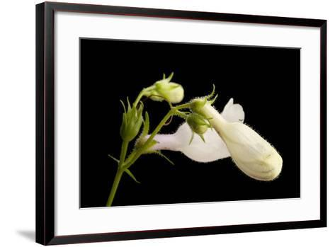 A Beardtongue Plant, Penstemon Digitalis-Joel Sartore-Framed Art Print