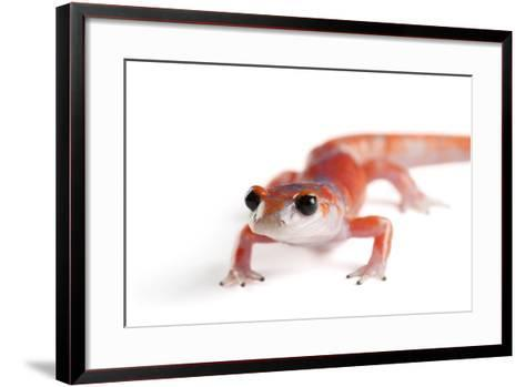 A Sierra Nevada Ensatina Salamander, Ensatina Eschscholtzi Platensis-Joel Sartore-Framed Art Print