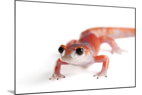 A Sierra Nevada Ensatina Salamander, Ensatina Eschscholtzi Platensis-Joel Sartore-Mounted Photographic Print