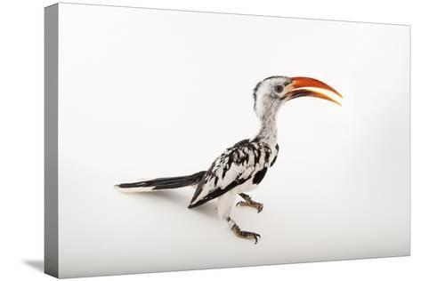 A Red-Billed Hornbill, Tockus Erythrorhynchus, at Omaha's Henry Doorly Zoo and Aquarium-Joel Sartore-Stretched Canvas Print