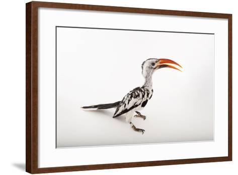 A Red-Billed Hornbill, Tockus Erythrorhynchus, at Omaha's Henry Doorly Zoo and Aquarium-Joel Sartore-Framed Art Print