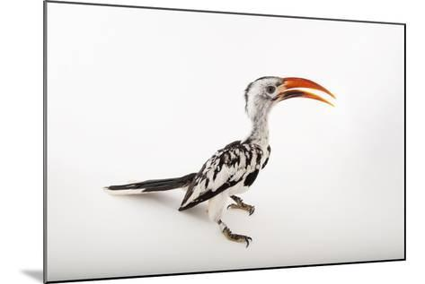 A Red-Billed Hornbill, Tockus Erythrorhynchus, at Omaha's Henry Doorly Zoo and Aquarium-Joel Sartore-Mounted Photographic Print