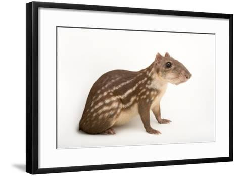 A Spotted Paca, Cuniculus Paca, at the Omaha Henry Doorly Zoo-Joel Sartore-Framed Art Print