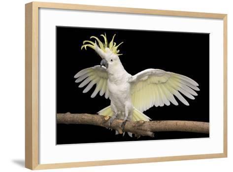A Sulpher-Crested Cockatoo, Cacatua Galerita Galerita, at the Minnesota Zoo-Joel Sartore-Framed Art Print