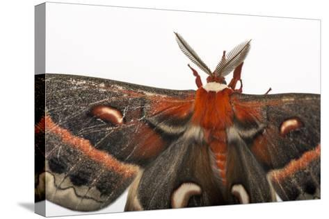 A Cecropia Moth, Hyalophora Cecropia, at the Minnesota Zoo-Joel Sartore-Stretched Canvas Print
