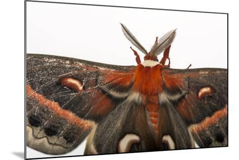 A Cecropia Moth, Hyalophora Cecropia, at the Minnesota Zoo-Joel Sartore-Mounted Photographic Print