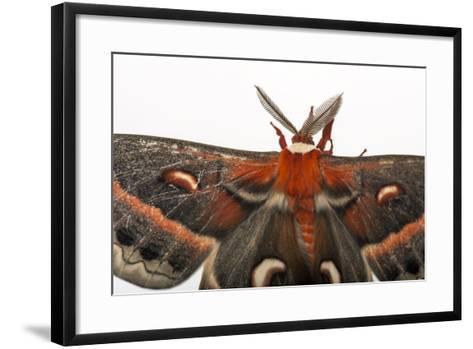 A Cecropia Moth, Hyalophora Cecropia, at the Minnesota Zoo-Joel Sartore-Framed Art Print