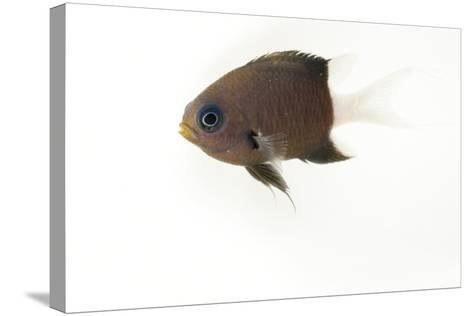 A Bicolor Chromis, Chromis Margaritifer, at Omaha's Henry Doorly Zoo and Aquarium-Joel Sartore-Stretched Canvas Print