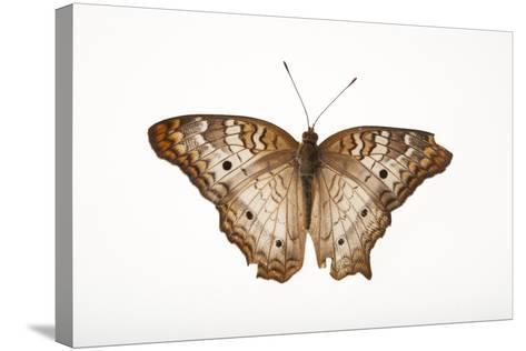 A White Peacock Butterfly, Anartia Jatrophae, a Native to Nebraska, at the Lincoln Children's Zoo-Joel Sartore-Stretched Canvas Print