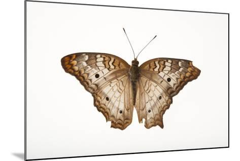 A White Peacock Butterfly, Anartia Jatrophae, a Native to Nebraska, at the Lincoln Children's Zoo-Joel Sartore-Mounted Photographic Print