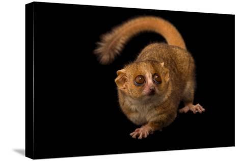 A Gray Mouse Lemur, Microcebus Murinus, at the Duke Lemur Center-Joel Sartore-Stretched Canvas Print