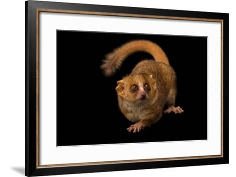 A Gray Mouse Lemur, Microcebus Murinus, at the Duke Lemur Center-Joel Sartore-Framed Art Print