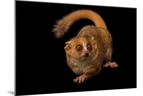 A Gray Mouse Lemur, Microcebus Murinus, at the Duke Lemur Center-Joel Sartore-Mounted Photographic Print