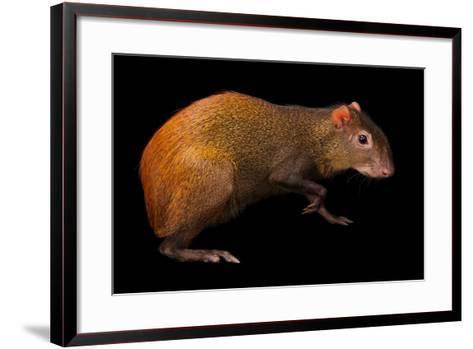 Red-Rumped Agouti, Dasyprocta Leporina, at Omaha Zoo's Wildlife Safari Park-Joel Sartore-Framed Art Print