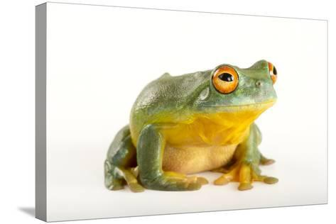 A Southern Orange-Eyed Tree Frog, Litoria Chloris, at the Wild Life Sydney Zoo-Joel Sartore-Stretched Canvas Print