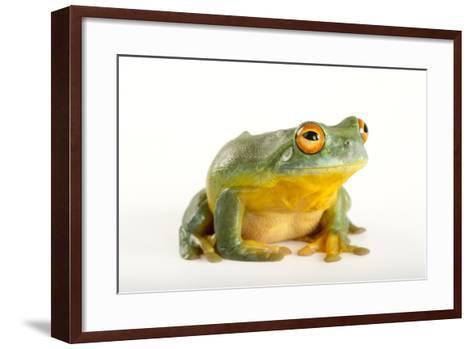 A Southern Orange-Eyed Tree Frog, Litoria Chloris, at the Wild Life Sydney Zoo-Joel Sartore-Framed Art Print