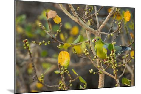 An African Green Pigeon Eating Fruits in a Tree-Erika Skogg-Mounted Photographic Print