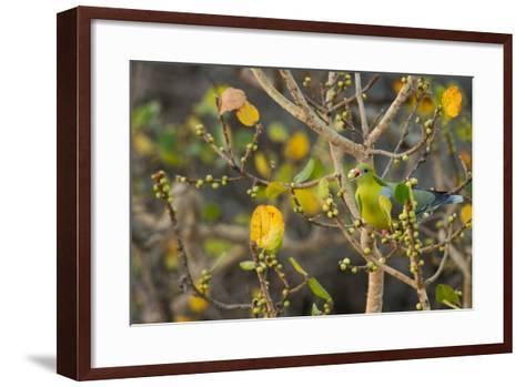An African Green Pigeon Eating Fruits in a Tree-Erika Skogg-Framed Art Print