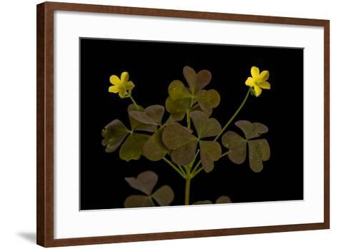 A Yellow Wood Sorrel Plant, Oxalis Stricta-Joel Sartore-Framed Art Print