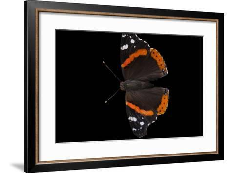 A Red Admiral Butterfly, Vanessa Atalanta, at Leech Lake, Minnesota-Joel Sartore-Framed Art Print