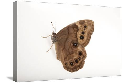A Northern Pearly-Eye, Enodia Anthedon, from Cross Lake, Minnesota-Joel Sartore-Stretched Canvas Print