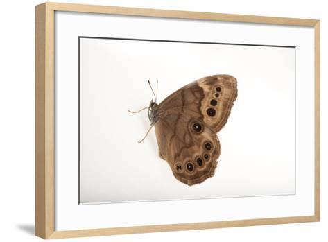 A Northern Pearly-Eye, Enodia Anthedon, from Cross Lake, Minnesota-Joel Sartore-Framed Art Print
