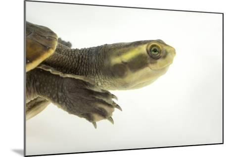 Yellow-Faced Turtle, Emydura Tanybaraga-Joel Sartore-Mounted Photographic Print