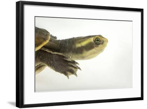 Yellow-Faced Turtle, Emydura Tanybaraga-Joel Sartore-Framed Art Print