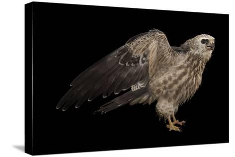 A Mississippi Kite, Ictinia Mississippiensis, at St. Francis Wildlife Association-Joel Sartore-Stretched Canvas Print