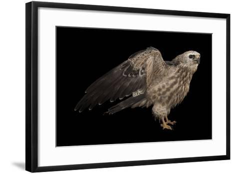 A Mississippi Kite, Ictinia Mississippiensis, at St. Francis Wildlife Association-Joel Sartore-Framed Art Print