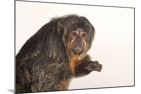 A Female White-Faced Saki Monkey, Pithecia Pithecia, at the Kansas City Zoo-Joel Sartore-Mounted Photographic Print