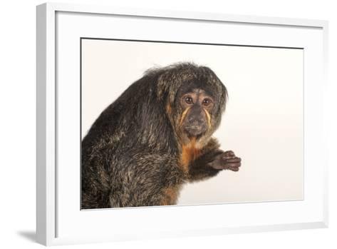 A Female White-Faced Saki Monkey, Pithecia Pithecia, at the Kansas City Zoo-Joel Sartore-Framed Art Print