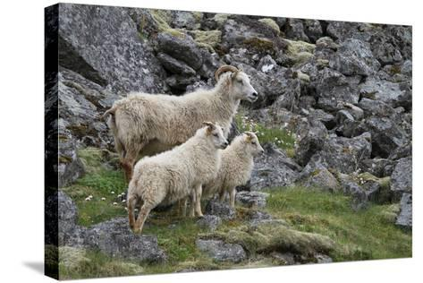 Portrait of an Icelandic Sheep Family-Erika Skogg-Stretched Canvas Print