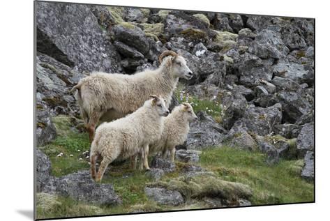 Portrait of an Icelandic Sheep Family-Erika Skogg-Mounted Photographic Print