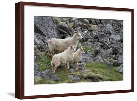 Portrait of an Icelandic Sheep Family-Erika Skogg-Framed Art Print
