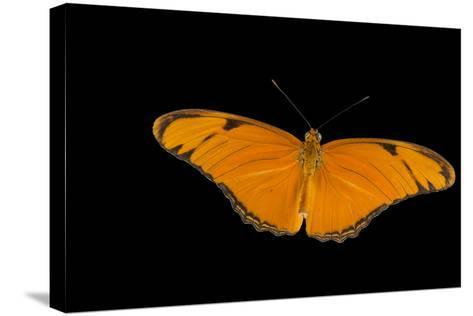 A Julia Butterfly, Dryas Iulia Largo, at the Minnesota Zoo-Joel Sartore-Stretched Canvas Print