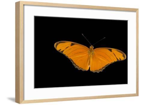 A Julia Butterfly, Dryas Iulia Largo, at the Minnesota Zoo-Joel Sartore-Framed Art Print