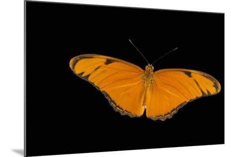 A Julia Butterfly, Dryas Iulia Largo, at the Minnesota Zoo-Joel Sartore-Mounted Photographic Print
