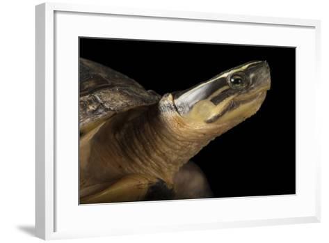 A Malayan Box Turtle, Cuora Amboinensis-Joel Sartore-Framed Art Print